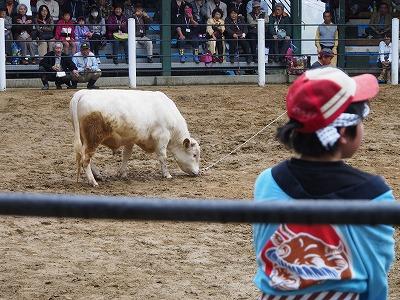 牛の角突き